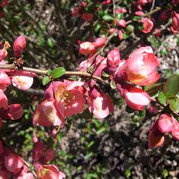 WE-flowering-quince
