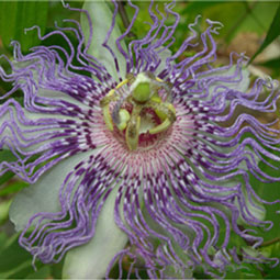 WE-passionflower