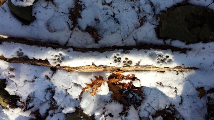 Weekend Wildlife Tracking Adventure with Master Tracker George Leoniak